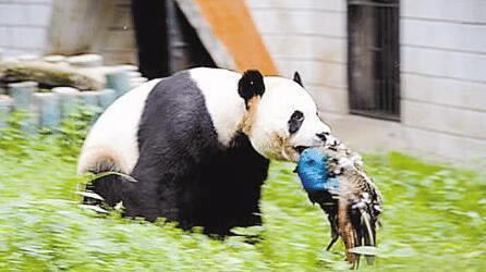 孔雀背对国宝开屏,遭熊猫怒追攻击,结果尴尬了!_自然